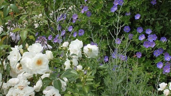 Blaue Blüten des Geraniums Rozanne in Kombination mit weißen Rosen