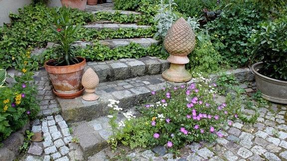 Geranium mit rosa Blüten wächst direkt vor einer Steintreppe