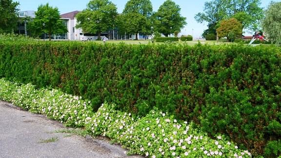 Geranium mit zartrosa Blüten wächst vor einer Hecke