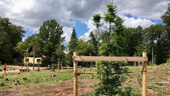 Ein kleiner Urwelt-Mammutbaum im Arboretum auf der Sängerwiese bei Eisenach.
