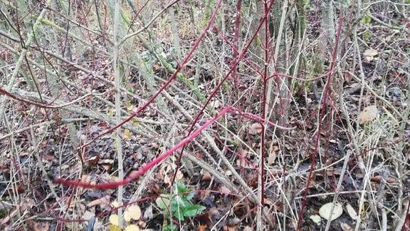 Triebe des roten Hartriegels wachsen in einem Garten.
