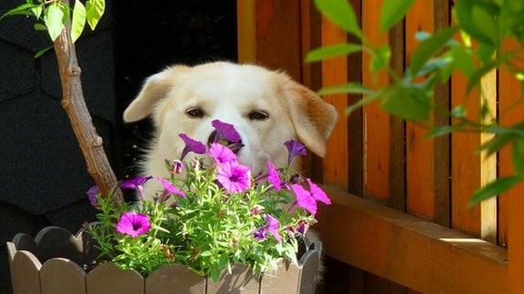 Hund Sunny hinter Topfpflanze auf Balkon