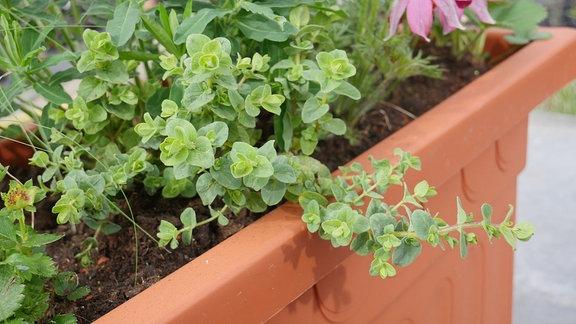 Hopfenblütiger Oregano mit grünen Blättern.