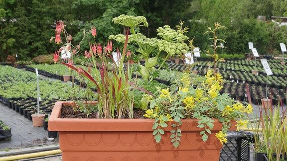 Blumenkasten mit Akelei, Engelwurz, Dreiblattspiere, Blutgras und Lerchensporn.