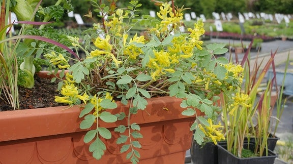 Lerchensporn mit gelben Blüten und grünen Blättern.