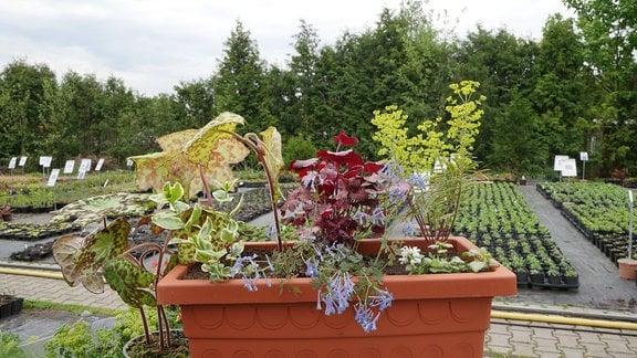Blumenkasten mit Maiapfel, Purpurglöckchen, Mandelwolfsmilch, Immergrün, Lerchensporn und Taubnessel.