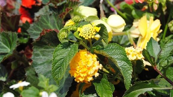 Gelb blühendes Wandelröschen in einem üppig bepflanzten Balkonkasten.