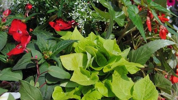 Viele hellgrüne Blätter einer Ipomoea-Pflanze quellen aus einem üppig bepflanzten Balkonkasten heraus.