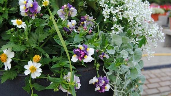 Blühender Elfenspiegel, auch Nemesia genannt, mit hellgelb-violett gefärbten Blüten in einem Pflanzkübel mit verschiedenen anderen Pflanzen.