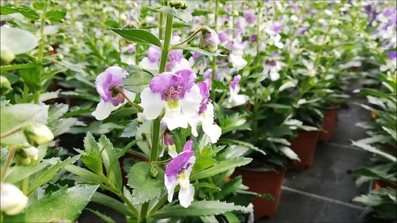 lila-weiße Blüte der Angelonia