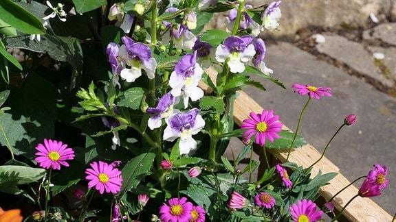 lila Australisches Gänseblümchen und Aneglonia in einer Kiste
