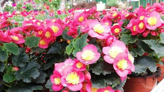 rosarote Begonienblüten