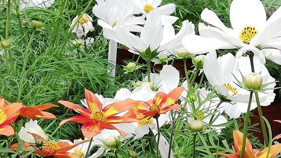 weiße Cosmea-Blüten und orangene Bidens Blüten