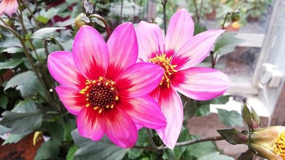 rosarote Dahlienblüte