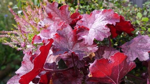 Rote Blätter der Heuchera.