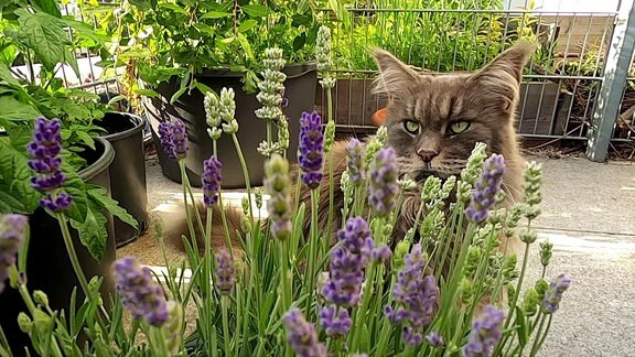 Katze versteckt sich hinter einem Lavendeltopf auf einem Dachgarten.