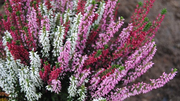 Knospenheide als Sonderform der Besenheide Calluna vulgaris