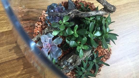 In einem Glas wachsen verschiedene dickblättrige Pflanzen.