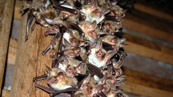 Fledermäuse der Gattung Großes Mausohr im Sommerquartier.
