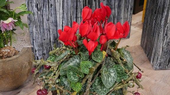 Rote Alpenveilchen mit gewachsten Zieräpfeln.