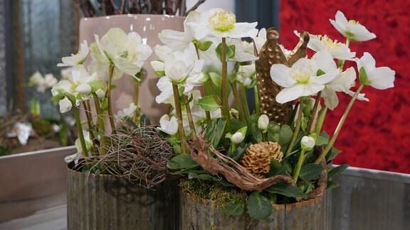 Christrosen mit Euphorbia spinosa, Zapfen und einem an eine Krone erinnernden Teelichthalter.