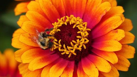 Orange-rote Blüte der Zinnie 'Yellow Flame'.