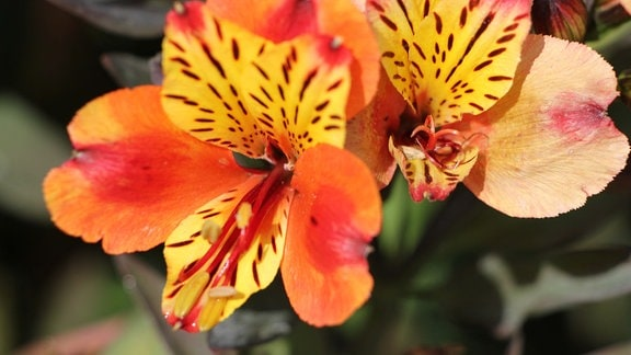 Inkalilie mit orange-gelb-roter Blüte.