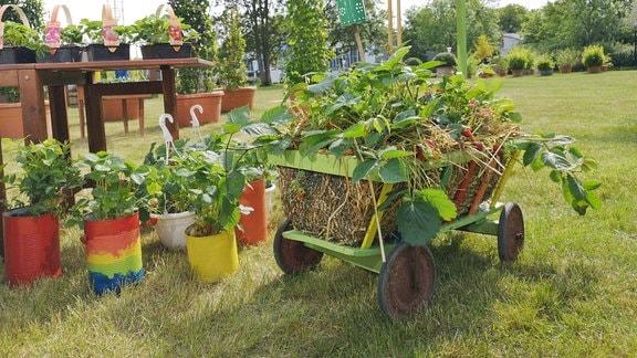 Mit Stroh gefüllter und mit Erdbeeren bepflanzter Bollerwagen