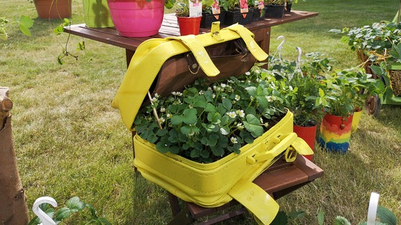 Gelber Koffer wurde mit Erdbeeren bepflanzt