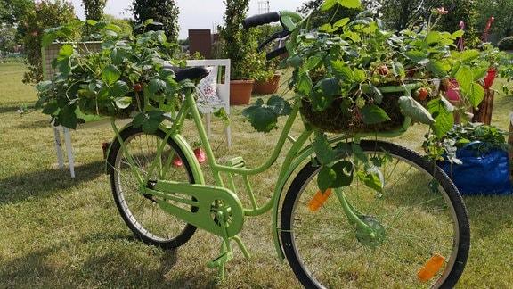 Grünes Fahrrad mit Erdbeerpflanzen in Körben an Lenker und Gepäckträger