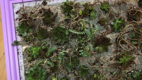 Lila Bilderrahmen mit sukkulenten Pflanzen