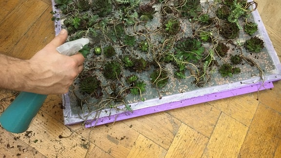 Bepflanzten Bilderrahmen mit Wasser besprühen