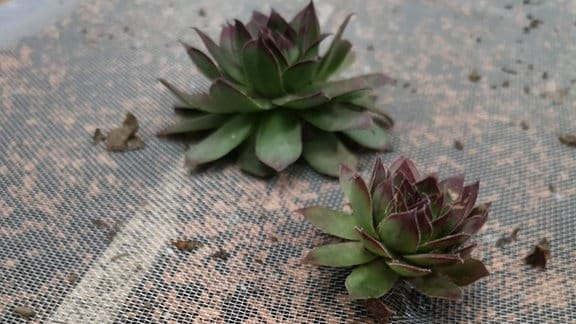 Sukkulente Pflanzen in Bilderrahmen mit Erde