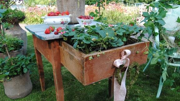 Ein alter Holztisch mit ausziebahrer Schublade, in die Erdbeerpflanzen gesetzt wurden, und einer rosa Schleife sowie einem aus Draht gebogenen, mit Moos umwickelten Herz steht im egapark in Erfurt