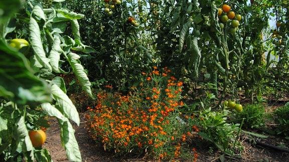 Gewürztagetes als Unterpflanzung bei Tomaten in Gewächshaus