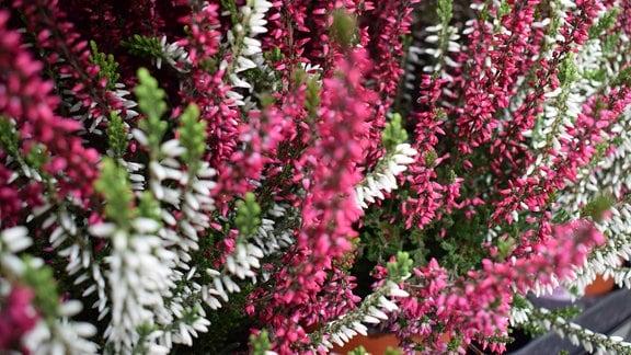 Knospenheide in weiß und rosa