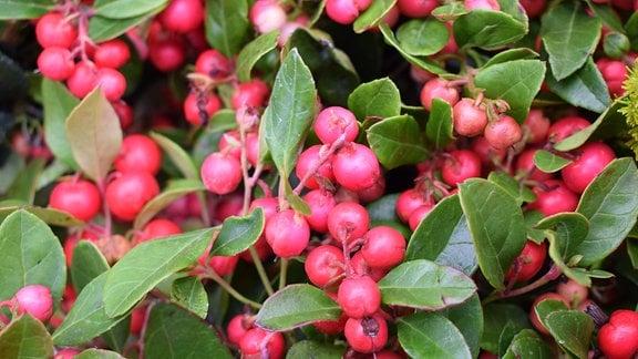 Scheinbeere mit roten Früchten