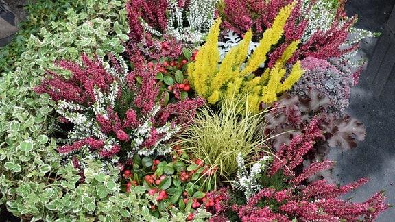 Heide-Arten, Scheinbeere, Carex und Purpurglöckchen
