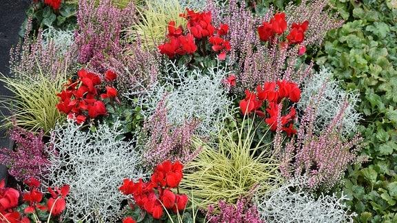 verschiedenes Heidekraut, Stacheldraht, Carex, Alpenveilchen