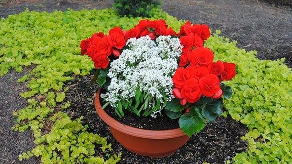Eine Pflanzschale mit rot blühenden Begonien und einer weiß blühenden Pflanze steht auf einem Mustergrab auf dem Gelände der Lehr- und Versuchsanstalt für Gartenbau in Erfurt.