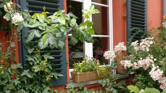 Rosen ranken um ein Fenster.