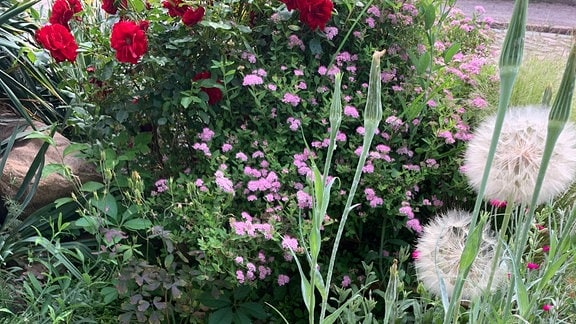 eine kleinblühende rote Rose neben rosafarbenen Schafgarbeblüten