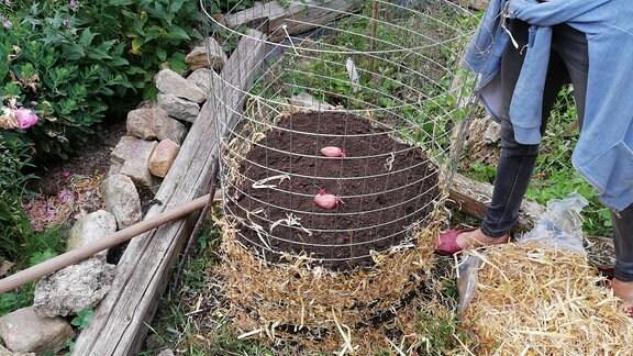 Kartoffelturm mit einer letzten Schicht Erde und zwei Kartoffeln