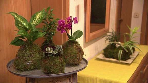 Kokedama-Mooskugeln mit verschiedenen Zimmerpflanzen
