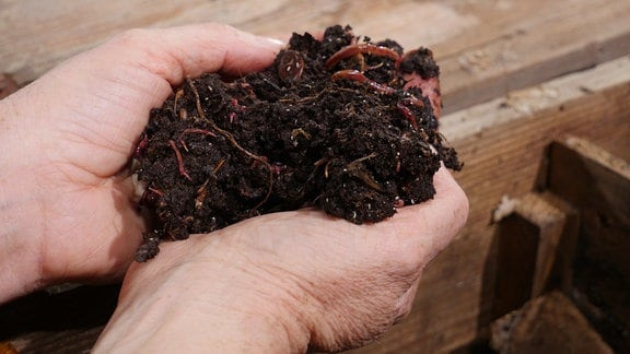 Eine Hand hält Kompost und Kompostwürmer über einer Kiste.