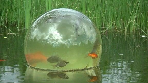 In einer Glaskugel im Gartenteich schwimmen Fische.
