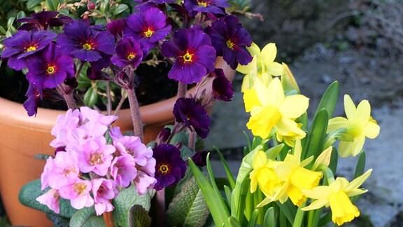 Bergenien, Stängelprimeln und Narzissen 'Tété â Tété' auf einer Höhe gepflanzt