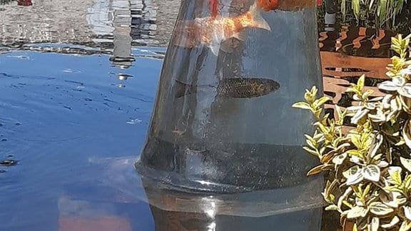In einer umgedrehten Glasvase im Gartenteich schwimmen Goldfische.