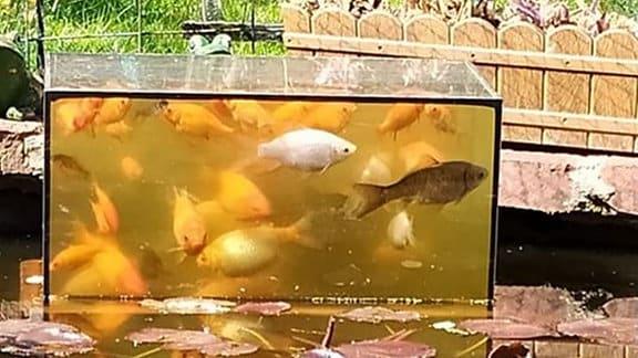 In einem Aquarium im Gartenteich schwimmen Goldfische.