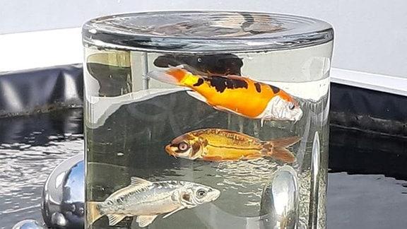 Drei Fische schwimmen in einer zylindrischen Glasvase